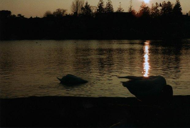Geese 50mm Kodak Colorplus 200 f16 500th sec